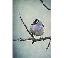White Crowned Sparrow ~ Photographic Print