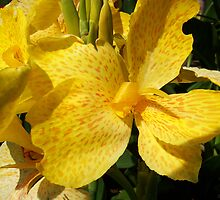Yellow Canna Lily by MSRowe Art and Design