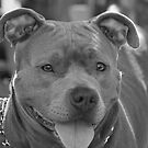 Pitbull in black and white by ritmoboxers