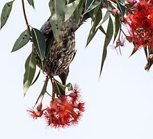 Little Wattle bird by ZanneArt