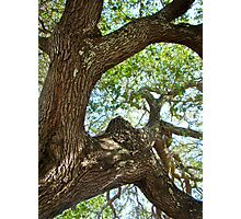 Live Oak Tree - Outer Banks NC - Buxton Photographic Print