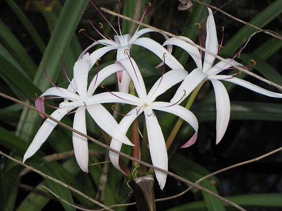 Everglades White Swamp Lilies by CarryOnWayward