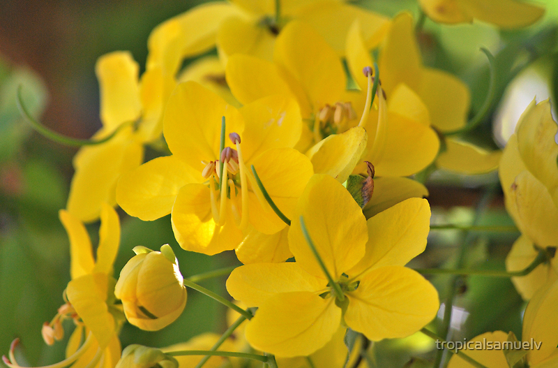 Yellow Blossom Flowers II by tropicalsamuelv
