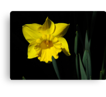 The Daffodil Canvas Print