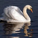 Mute Swan by Margaret S Sweeny