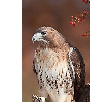Red -Tailed Hawk ~ Photographic Print