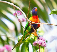 Rainbow Lorikeet by 8lueoval