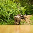 water buffalo by Brooke Reynolds