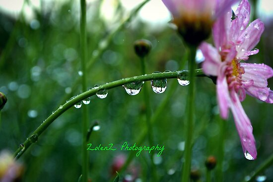 Daddy's daisy droplets by Zoe Harris