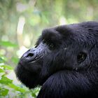 The Mountain Gorilla by monsieurI