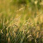 Summer grass by seanusmaximus