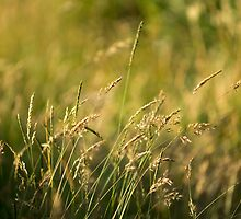 Summer grass by seanusmaximus