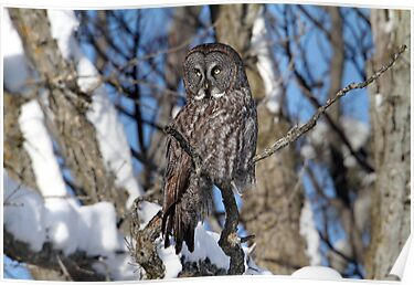 Great Grey Owl  by Gary Fairhead