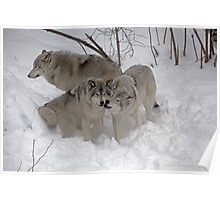 Wolf endearment  Poster