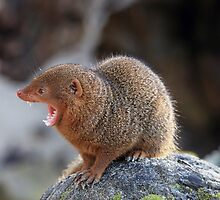A calling Dwarf Mongoose, also known as Common Dwarf Mongoose by Maria Gaellman