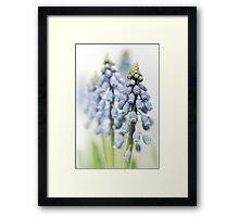 Grape Hyacinth VI Framed Print