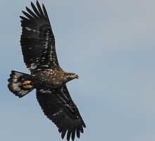 Young Eagle in Flight by Mully410