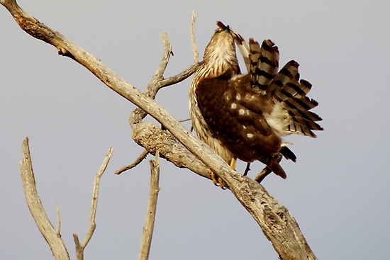 Cooper's Hawk (Preening) by Kimberly Chadwick