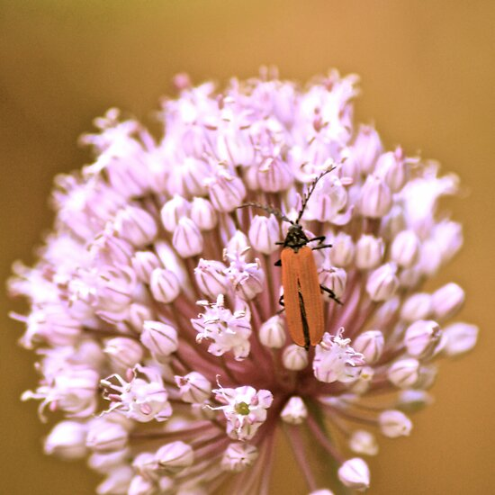 Lycid Beetle on Leek by Alison Hill