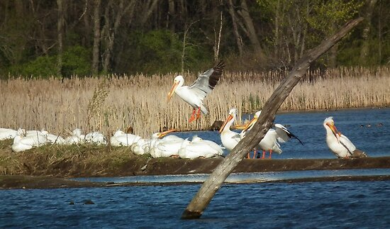 American White Pelican Coming In for a Landing by Deb Fedeler