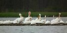 American White Pelicans Preening at Sweet Marsh by Deb Fedeler