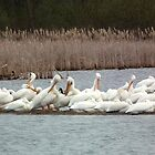 American White Pelicans Preening by Deb Fedeler