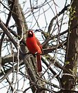 Cardinal in Spring at Wilson Grove by Deb Fedeler