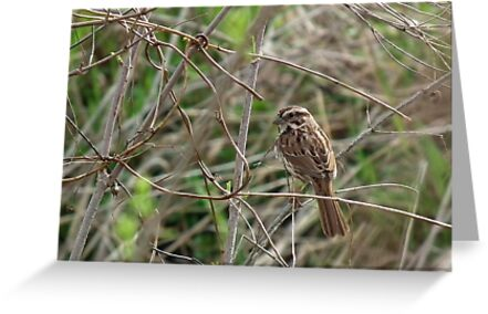 Song Sparrow in Brush by Deb Fedeler