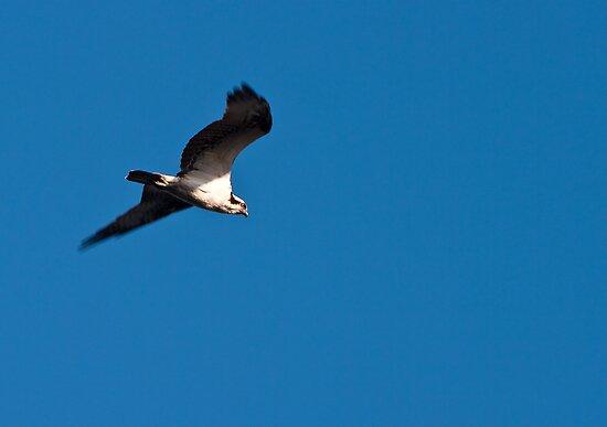 Osprey in Flight by ejlinkphoto