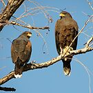 Harris's Hawks by Kimberly P-Chadwick