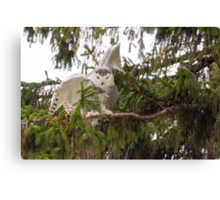 Sunset Hill Snowy Owl: Balancing on a Branch Canvas Print