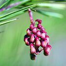 Rosemary Grevillea Close-Up by jayneeldred