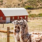 Two Alpacas with Red Barn in Background by dbvirago