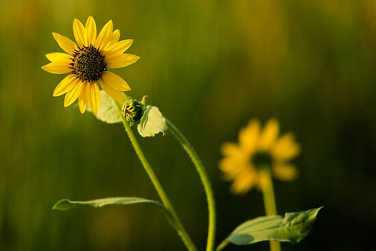 Sunflower  by codygephart