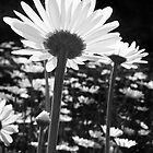 Daisy Dreams by Kathilee
