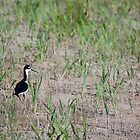 Black-Neck Stilt by Mavourneen Strozewski