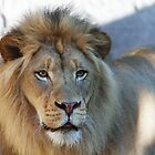 Lion looking right by bobkeenan