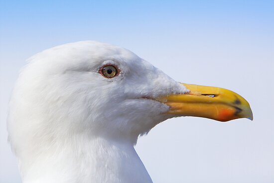 Seagull Profile Close by bobkeenan