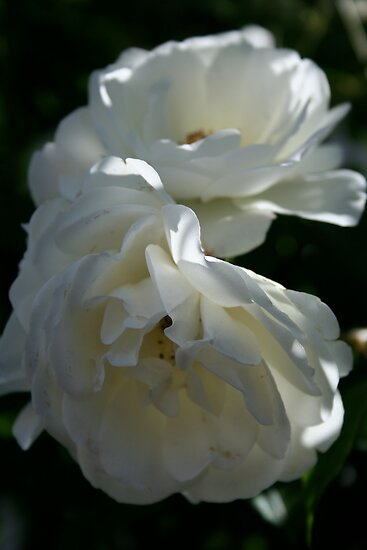 White Roses by PB-SecretGarden