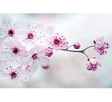 Black Cherry Plum Blossom Photographic Print