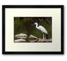 Little Egret screaming Framed Print