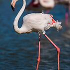 Beautiful female Flamingo in the water by LaurentS