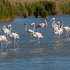 Group of Flamingo's by LaurentS