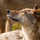 Wolf enjoying the sun by LaurentS