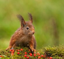 Red Squirrel by LaurentS