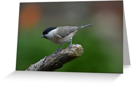 Willow tit by Peter Wiggerman