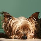 Sleeping Yorkie Dog by AntiCollegial