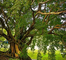 Bodhi Tree by Tracie Louise