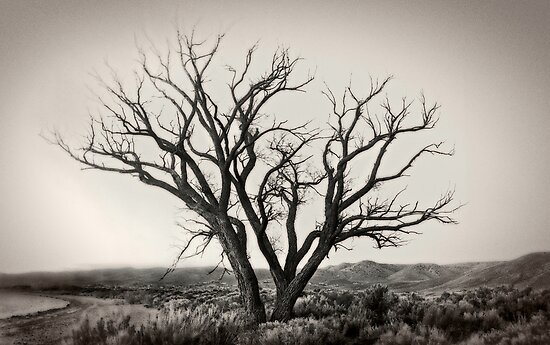 Old Washoe tree #1 by Jeffrey  Sinnock
