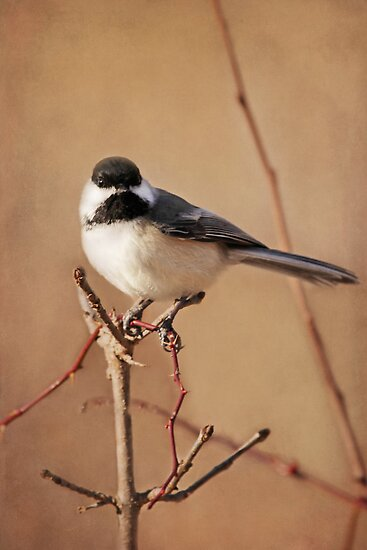 My Pretty Chickadee ~ by Renee Blake